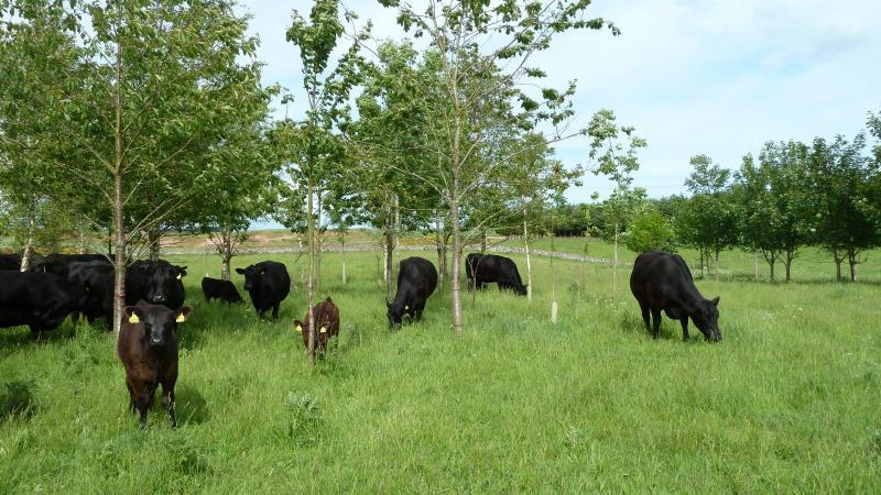 Silvopastural land use allows forestry and grazing to co-exist