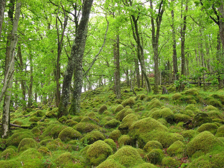 Atlantic woodlands, located mostly in the West Highlands and Argyll have 'global significance', not just for trees but also mosses, liverworts, lichens, fungi and ferns