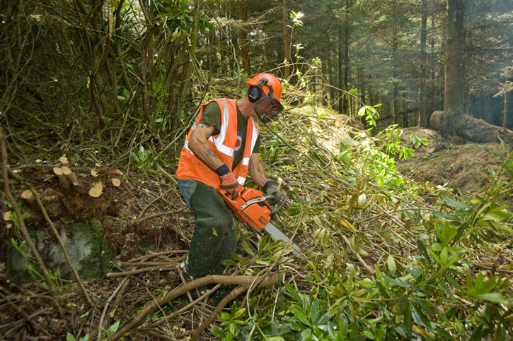 Rhododendron control using a chainsaw