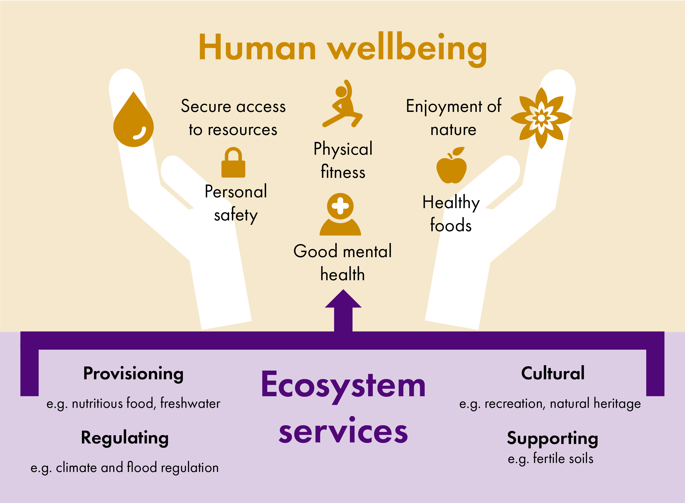 Diagram showing how ecosystem services such as nutritious food, opportunities for recreation, climate and flood regulation and fertile soils support human wellbeing. Aspects of human wellbeing include secure access to resources, personal safety, physical fitness, good mental health, enjoyment of nature and healthy foods.