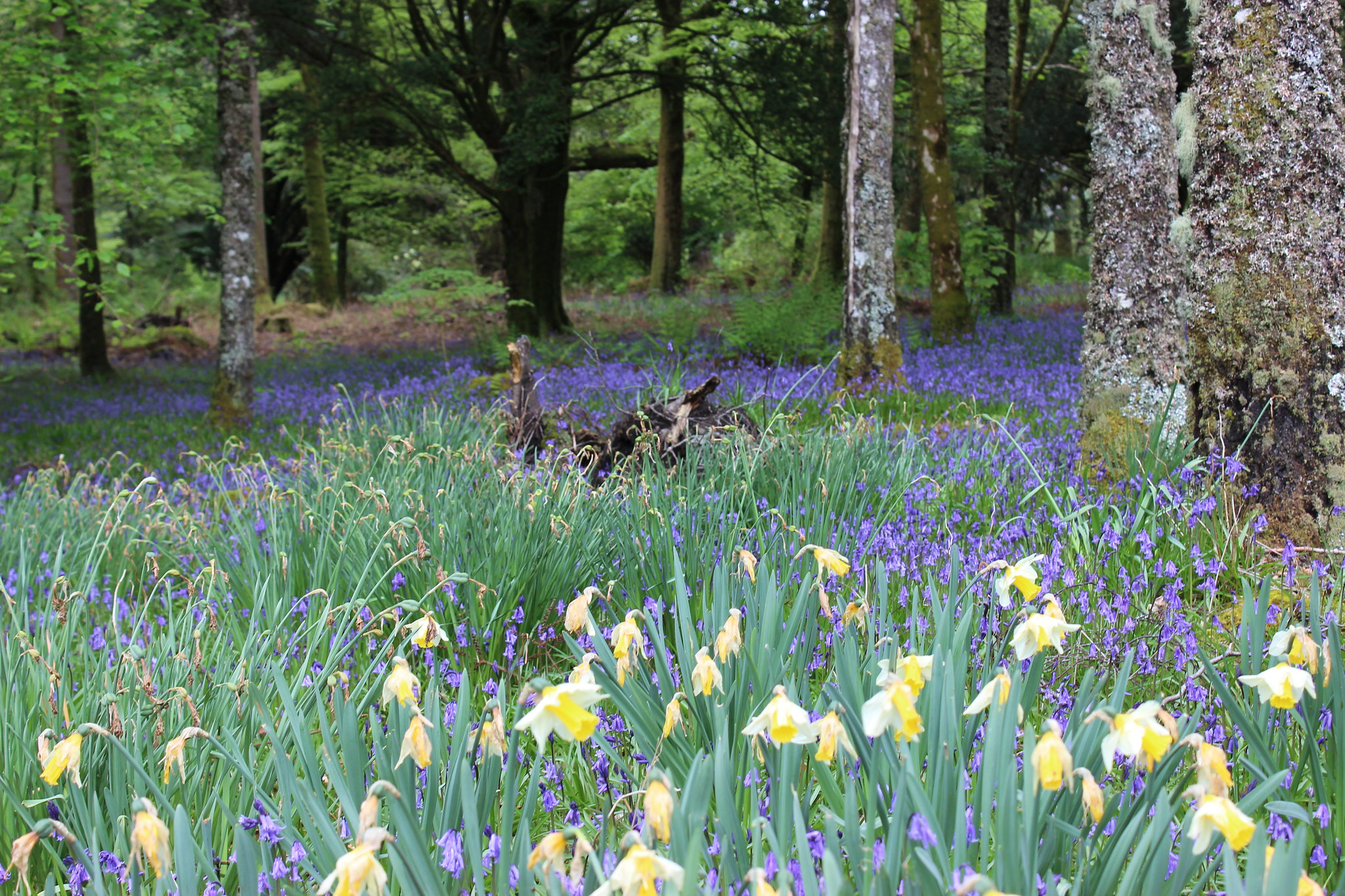 Image of a woodland in the spring with a carpet of bluebells and daffodils.