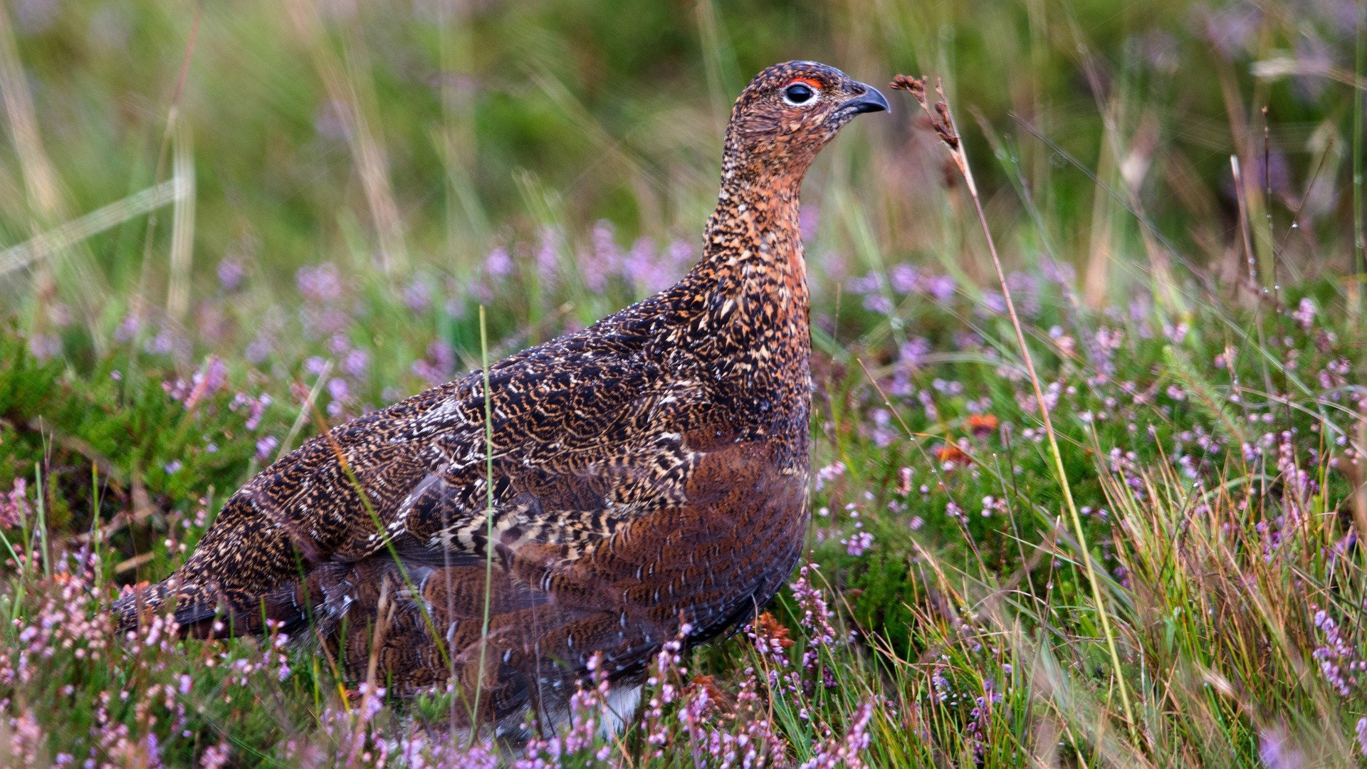 Image of a red grouse sitting in heather.