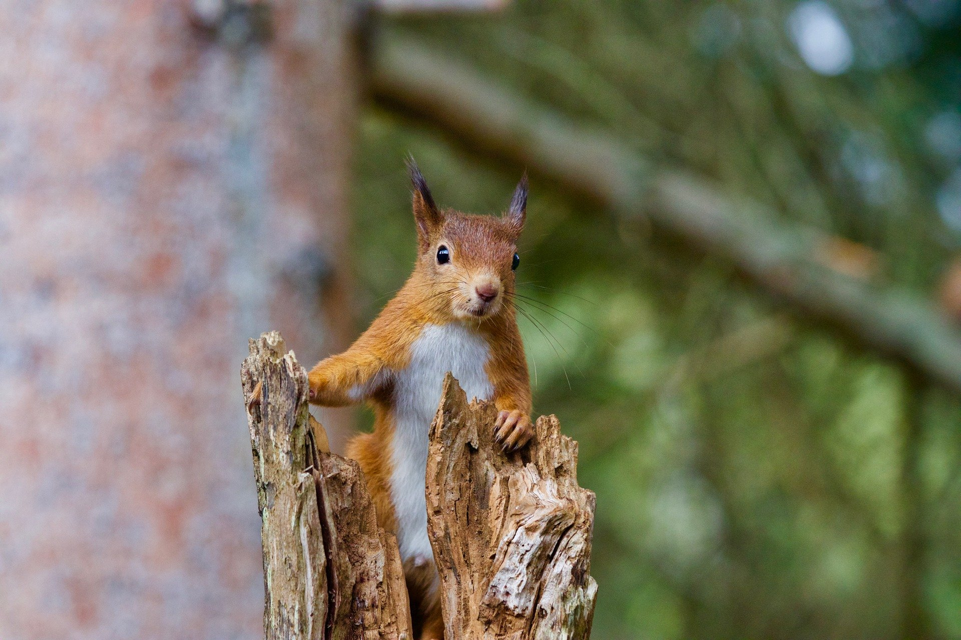 Image of a red squirrel sitting in a tree.